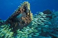 Bahamas, Bahamas Banks, School of fish Grunts on shipwreck