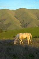 Horse grazing in field with mountain in background. Marin County , Northern California, USA