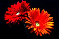 Close_up of two Gerbera Daisies Gerbera jamsonii flowers