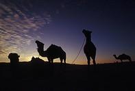 Tunisia, Sunrise in Douz. Camels
