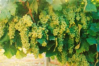 White cognac grapes on vine near Cognac, France