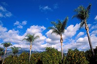 Palm tree and orange groves under blue sky and clouds in Ojai Valley, Ojai, California
