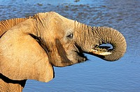 African Elephant Loxodonta africana drinking at a water hole, Madikwe Game Reserve, South Africa