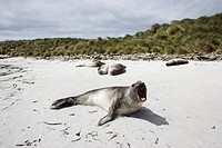 Falklands Islands Sea Lion Island. Sea lions