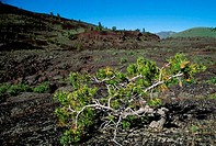 USA, IDAHO, CRATERS OF THE MOON NATIONAL MONUMENT, LIMBER PINE