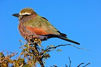 Purple Roller, Rufous-crowned Roller Coracias naevia, Madikwe Game Reserve, South Africa
