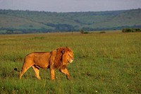 KENYA, MASAI MARA, MALE LION STALKING THROUGH GRASS