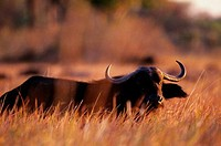 BOTSWANA, OKAVANGO DELTA, CAPE BUFFALO IN HIGH GRASS, EVENING SUNSHINE