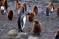 SOUTH GEORGIA, SALISBURY PLAIN, KING PENGUIN COLONY, ADULT WITH CHICK