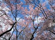 Cherry Blossoms, Nagano, Japan
