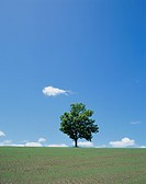 Single Tree in Green Field, Hokkaido, Japan