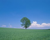 Single Tree in Wheat Field, Hokkaido, Japan