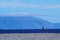 ECUADOR, GALAPAGOS ISLAND, FERNANDINA IS., GREAT BLUE HERON