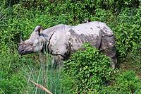 Nepal - Chitwan National Park - Asian Rhino