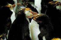 ANTARCTICA, MACQUARIE ISLAND, TWO ROYAL PENGUINS PREENING