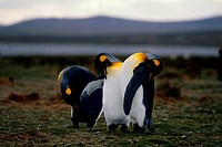 FALKLAND ISLAND, VOLUNTEER POINT, KING PENGUINS PREENING FEATHERS