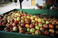 Freshly picked apples in cart