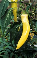 Yellow chili pepper on the plant, Pinokkio variety