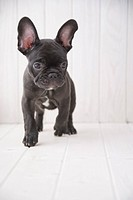 French bulldog walking