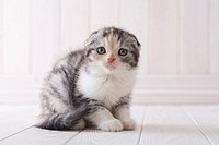 Scottish fold sitting