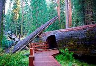 USA, California, Redwood National Park: giant sequoia