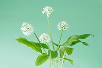 Flowering ramsons wild garlic