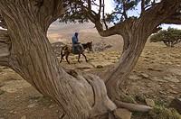 Morocco, Ait Bougmez valley, Izourar lake. Secular cypresses