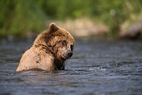 View of Brown bear swimming in the Russian River, Kenai Peninsula, Southcentral Alaska, Chugach National Forest, Summer