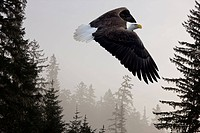 Bald Eagle soars through mist in the Tongass National Forest, Southeast Alaska, Winter, COMPOSITE