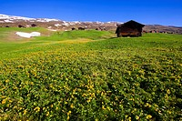 Camana, Switzerland, Europe, canton Graubünden, grisons, valley of Safien, mountains, alp, stables, snow rest, spring, flowers, marsh marigolds