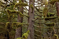 Moss hangs from the branches of old growth Spruce and Hemlock trees in Tongass National Forest, Inside Passage, Southeast Alaska, Summer