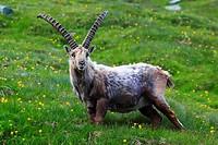 Steinbock, Capra ibex, Ibex, Bock, Männchen, männliches Steinwild am Niederhorn, Berner Oberland, Bernl, Schweiz