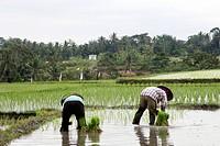 worker in rice fields, Bali, Indonesia