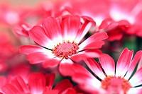 Cineraria flowerage