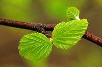 White birch Betula papyrifera Emerging leaflets