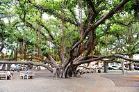 Banyan Tree Courthouse Square Lahaina Maui Hawaii Pacific Ocean