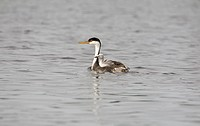 Western Grebe Aechmophorus occidentalis adult, swimming, with chick riding on back, North Dakota, U S A july