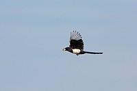 Common Magpie Pica pica adult, in flight, returning to chicks with food in beak, Suffolk, England, june