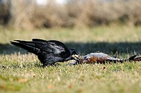 Rook Corvus frugilegus adult, feeding on dead Common Pheasant Phasianus colchicus, Oxfordshire, England, march