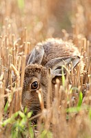 European Hare Lepus europaeus adult, laying in stubble field, Norfolk, England, august