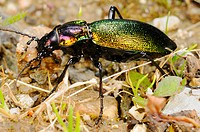 Olimpia´s Ground Beetle Carabus olympiae adult, feeding on slug, Italy