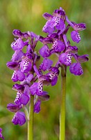Green_winged Orchid Orchis morio close_up of two flowerspikes, Gargano Peninsula, Apulia, Italy, spring