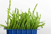 Fresh salicornia