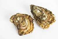 Fresh raw oysters