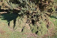 Common Gorse Ulex europaeus habit, browsed into shape by European Rabbit Oryctolagus cuniculus, on lowland heathland reserve, Wortham Ling, Suffolk, E...