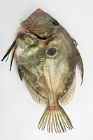 Fresh raw John Dory fish zeus faber