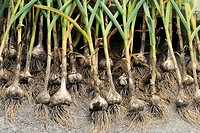 Garlic bulbs, being arranged to dry after harvest