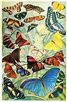 American butterflies  Antique illustration  1920