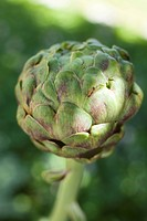 Artichokes _ growing
