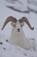 dall sheep Ovis dalli Yukon Territory, Canada